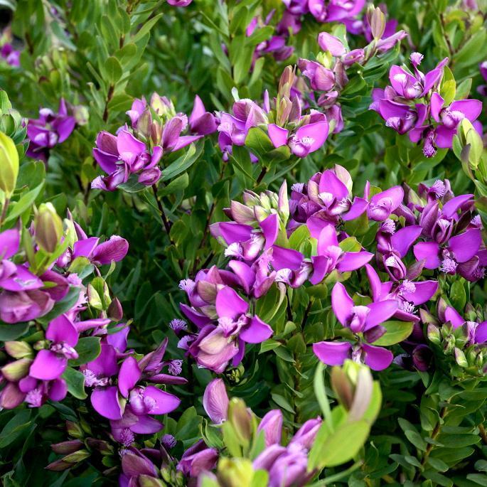 Polygale à feuilles de myrte (Polygala myrtifolia) 'Bibi Pink'