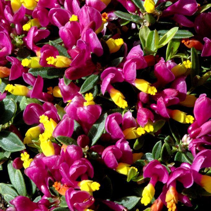 Polygale petit-buis (Polygala chamaebuxus) 'Grandiflora' (syn. P.rhodoptera Hort.)