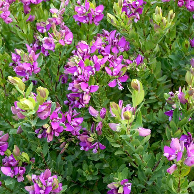 Polygala X dalmaisiana (syn. P.myrtifolia 'Grandiflora') Espèce type