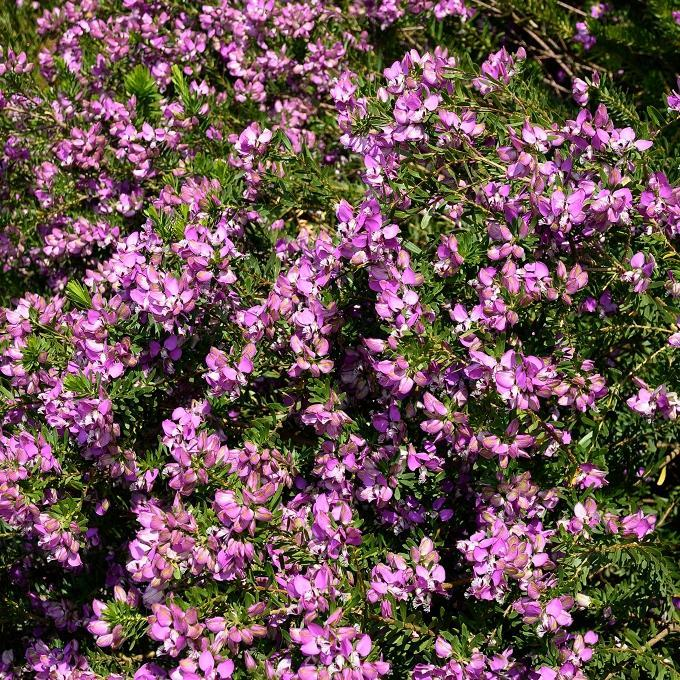 Polygala planter et cultiver ooreka - Polygala myrtifolia feuilles jaunes ...