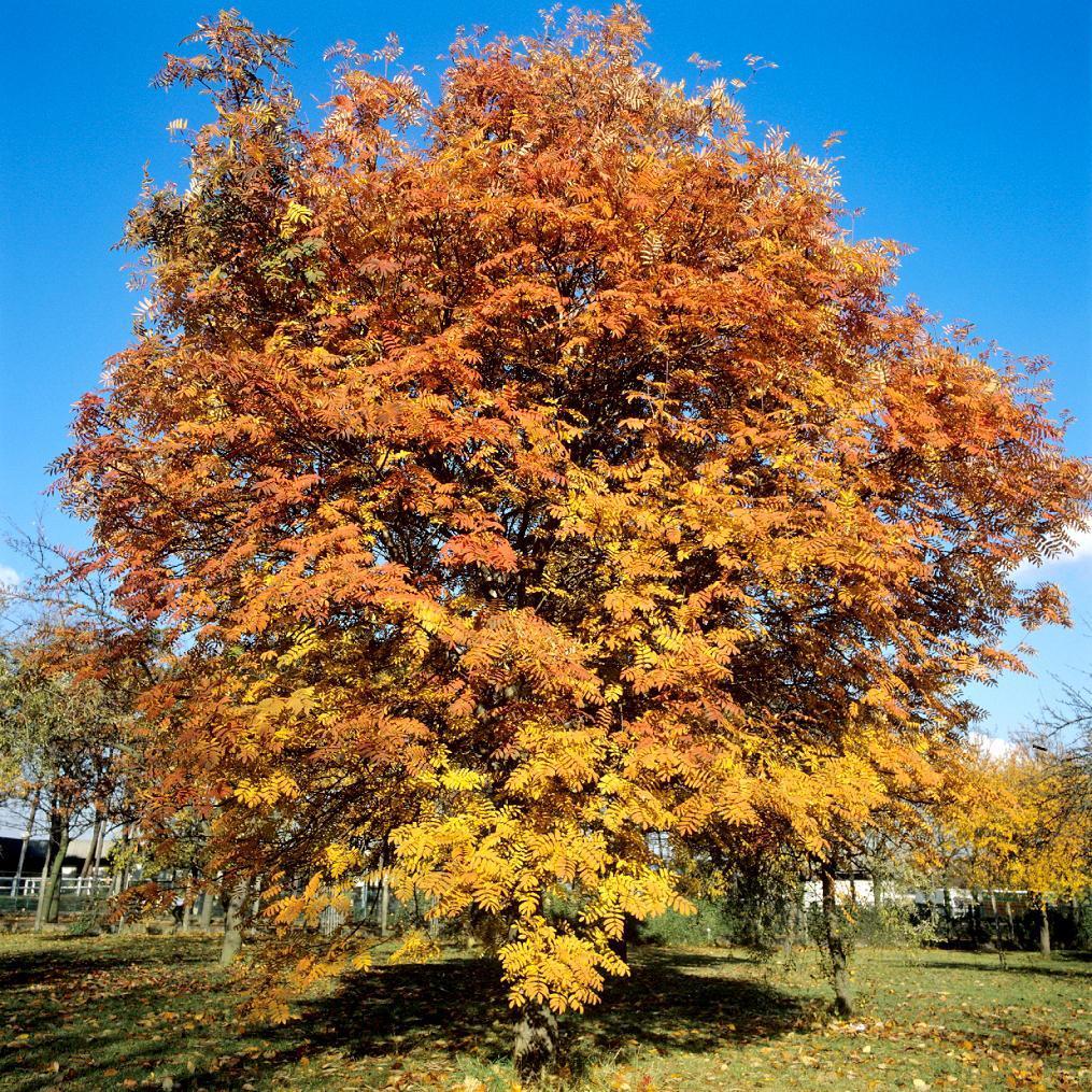 Variétés ou hybrides de sorbier des oiseaux à fruits rouges Sorbier des oiseaux (Sorbus aucuparia)