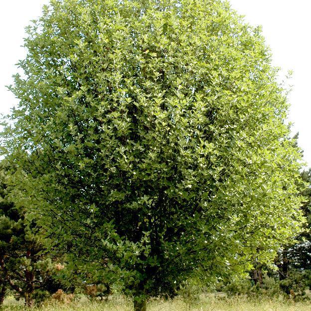 Autres espèces de Sorbus très proches Alisier blanc (Sorbus aria)