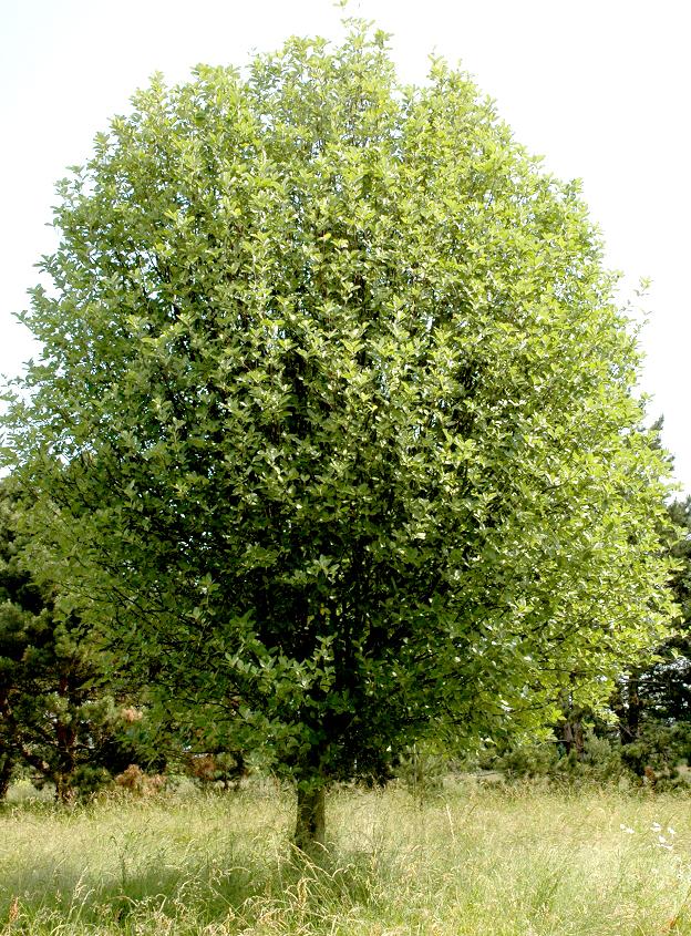Sorbier planter et cultiver ooreka for Plante un arbre