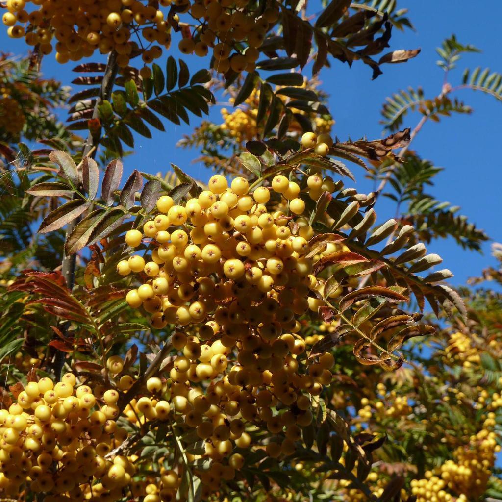 Variétés ou hybrides de sorbier des oiseaux à fruits autres que rouges Sorbus aucuparia 'Joseph Rock'