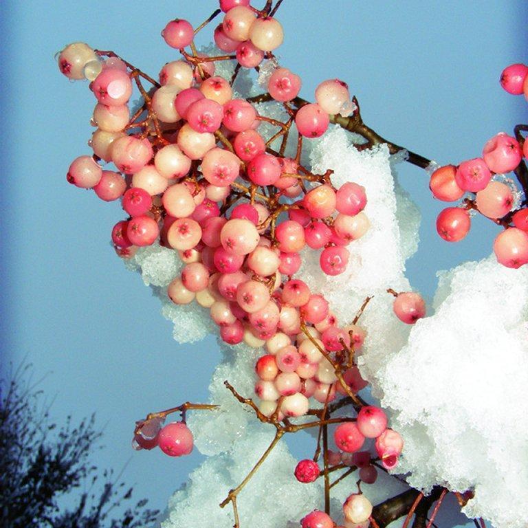 Autres espèces de Sorbus très proches Sorbier de Hupey (Sorbus hupehensis 'Rosea')