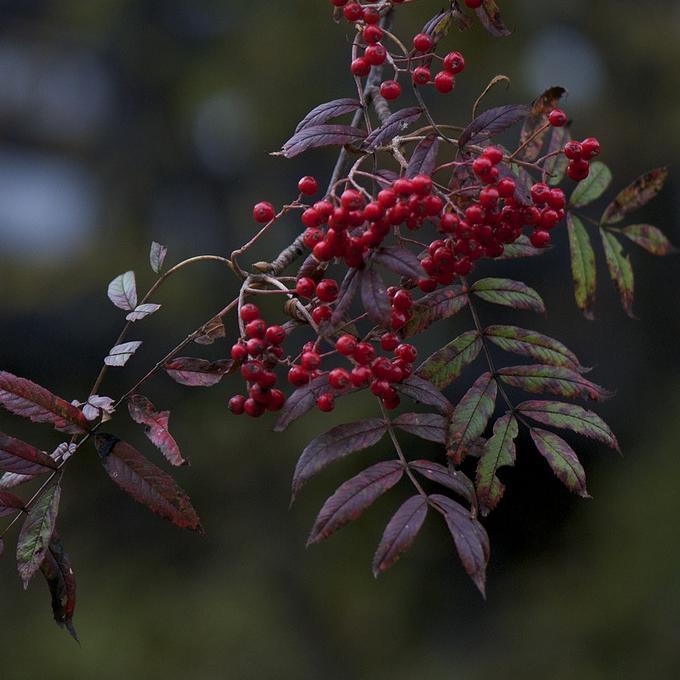 Variétés ou hybrides de sorbier des oiseaux à fruits autres que rouges Sorbier commixta du Japon (Sorbus commixta)