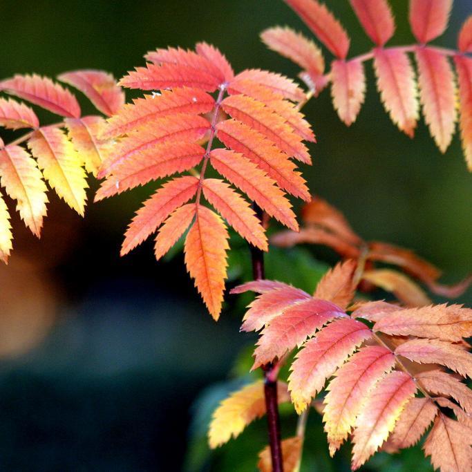 Variétés ou hybrides de sorbier des oiseaux à fruits autres que rouges Sorbier fastigié (Sorbus aucuparia 'Fastigiata')