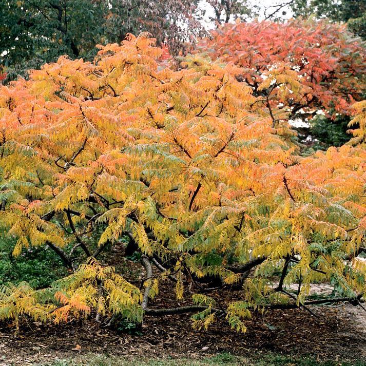 Autres variétés Rhus typhina 'Laciniata'