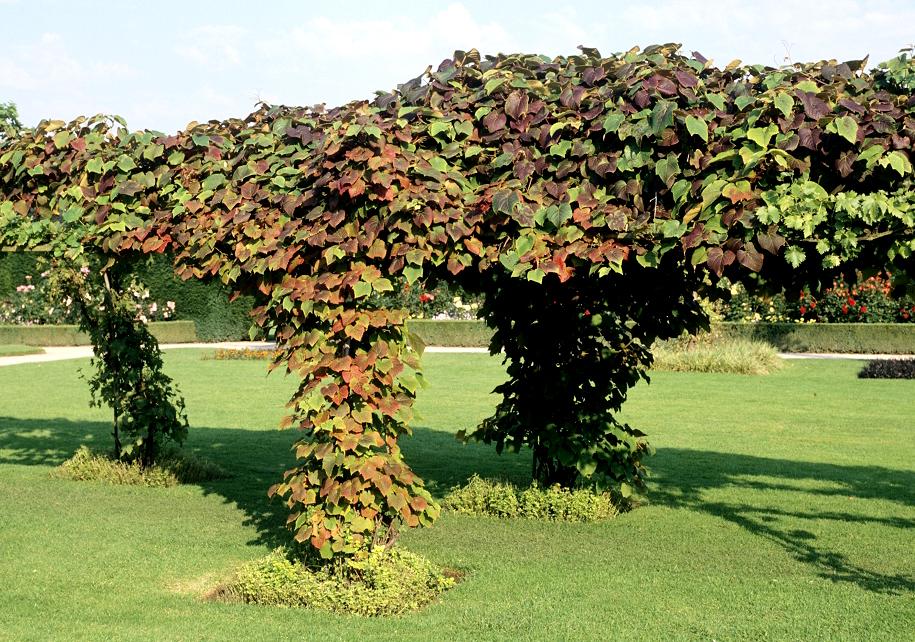 Vigne vierge planter et tailler ooreka - Planter un pied de vigne ...