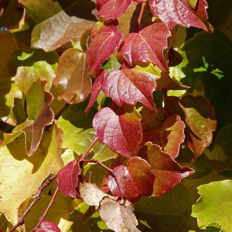 Vigne vierge japonaise (Parthenocissus tricuspidata) 'Veitchii'
