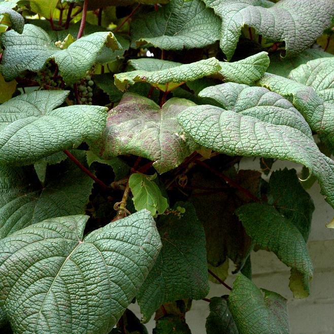 Vigne de Coignet (Vitis coignetiae) Espèce type