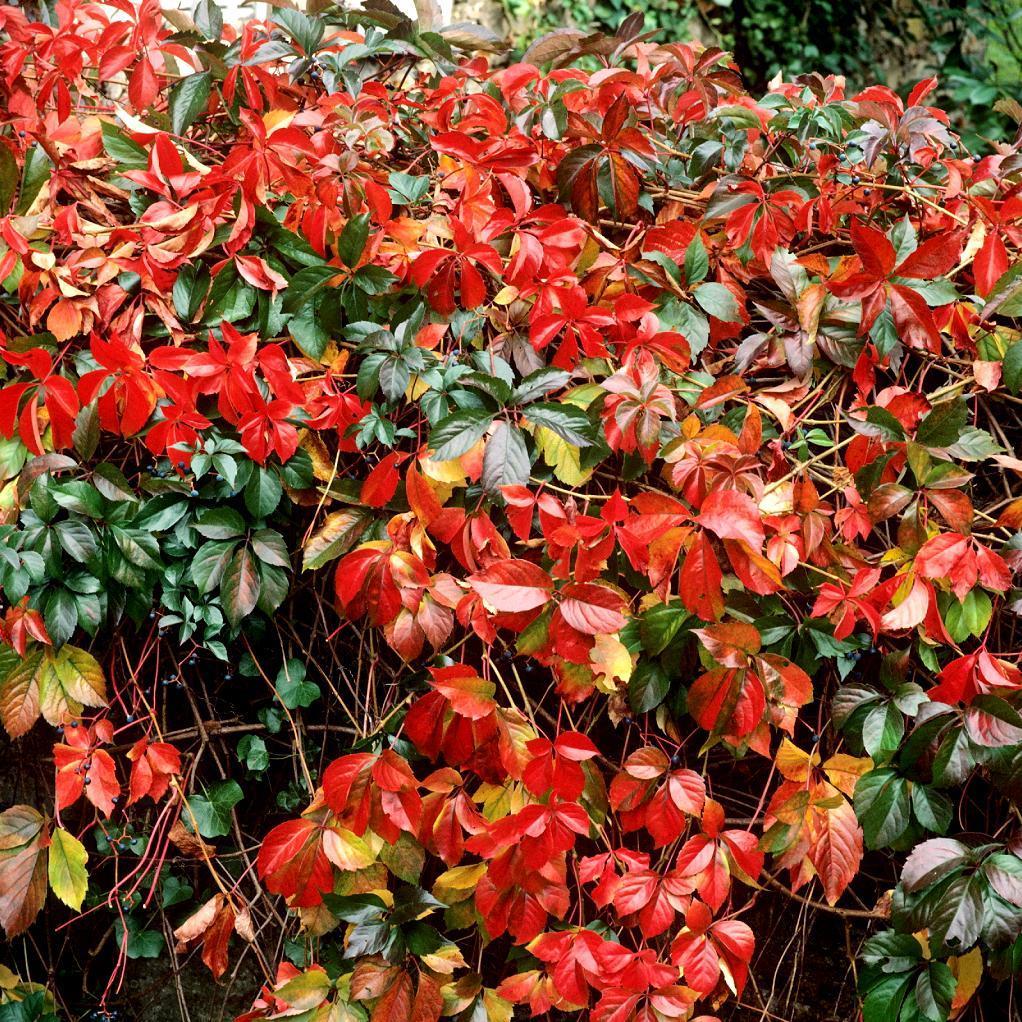 Vigne vierge à cinq folioles, vigne vierge vraie (Parthenocissus quinquefolia, syn. Ampelopsis quinquefolia) 'Engelmanii'