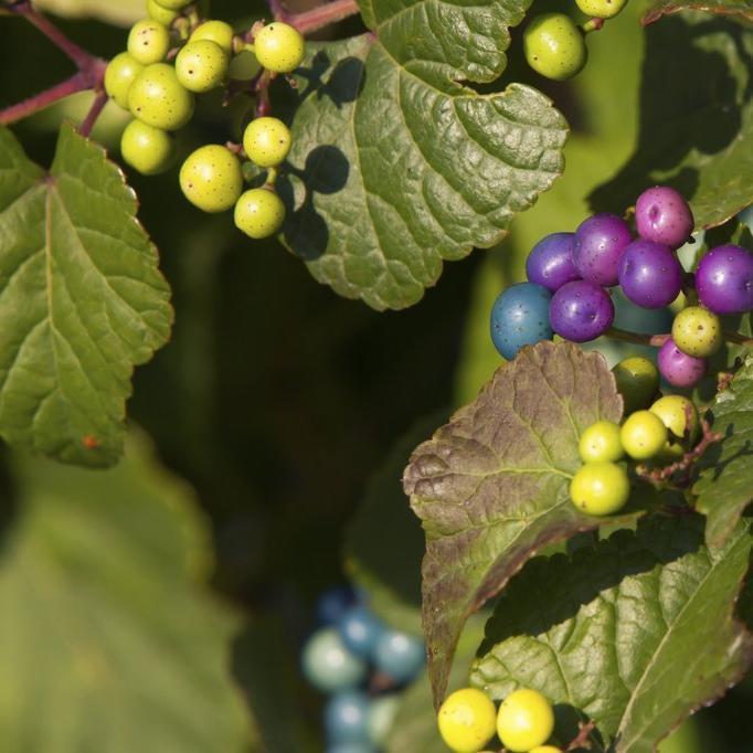 Vigne vierge à fruits bleus (Ampelopsis glandulosa, syn. A.brevipedunculata) f. elegans ou 'Elegans'