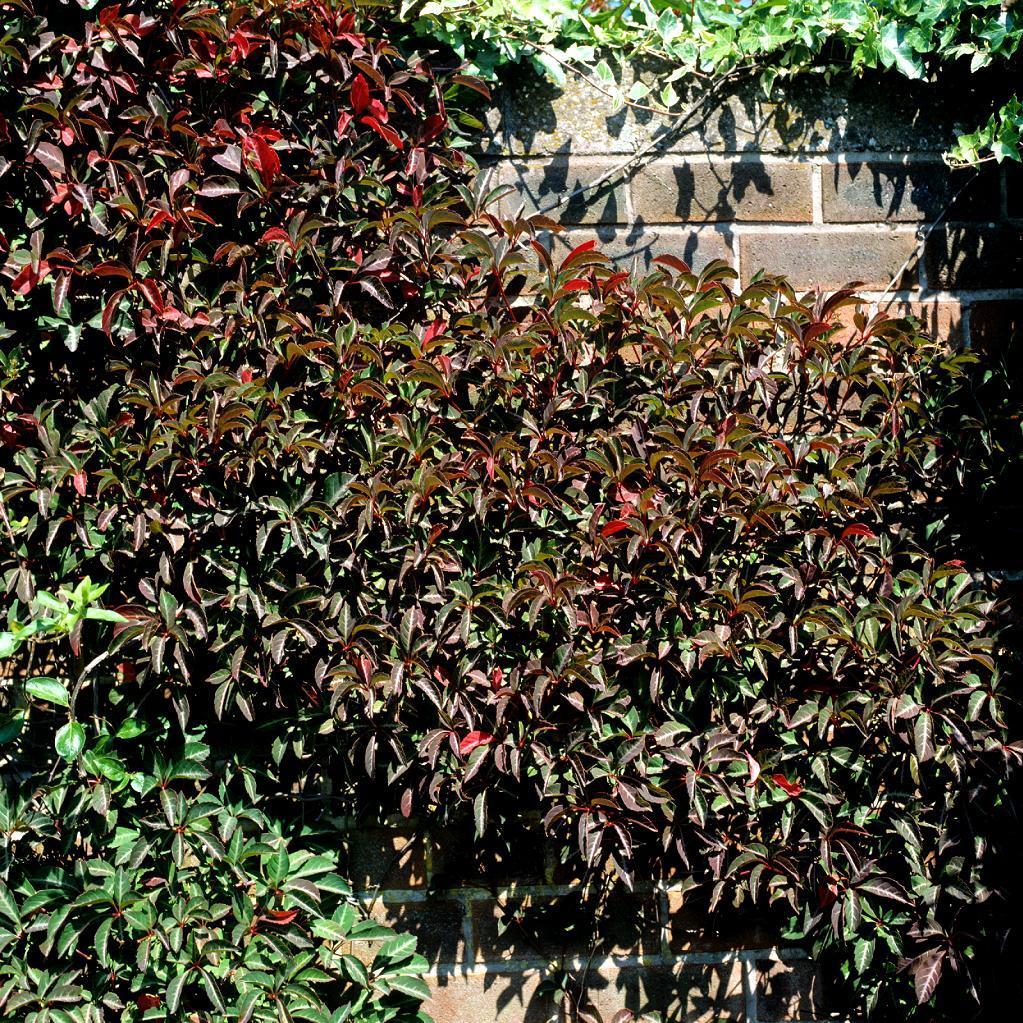 Vigne vierge panachée d'Henry (Parthenocissus henryana) Espèce type