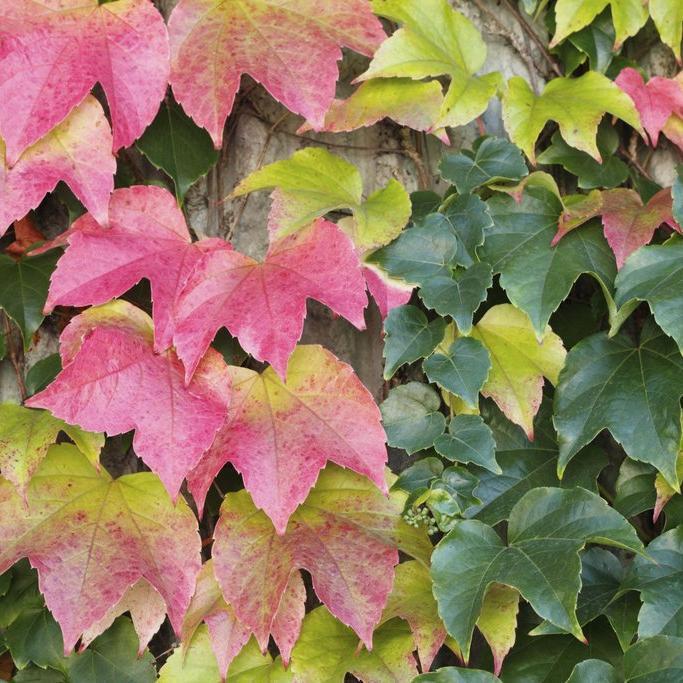 Vigne vierge : planter et tailler – Ooreka