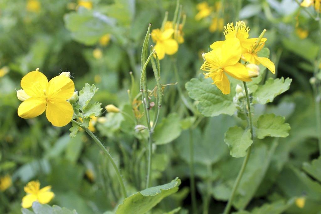 Ch lidoine planter et cultiver ooreka - Chelidoine verrue ou en trouver ...