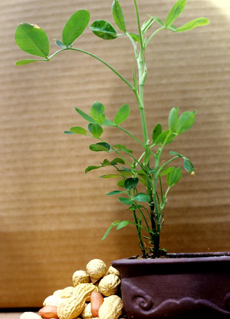 arachide   planter et cultiver  u2013 ooreka