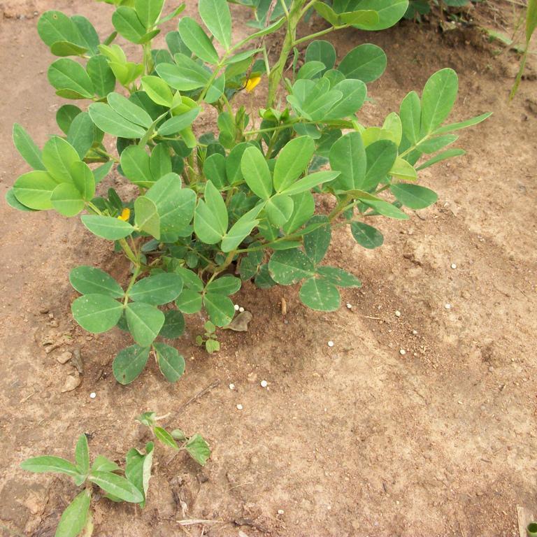 Arachis hypogaea Cacahuète de Virginie ('Virginia')