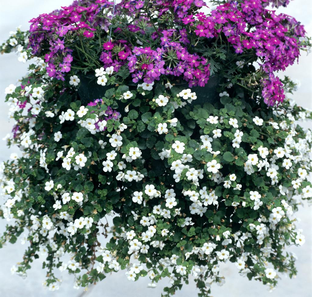 Bacopa planter et cultiver ooreka for Plante d interieur plein soleil