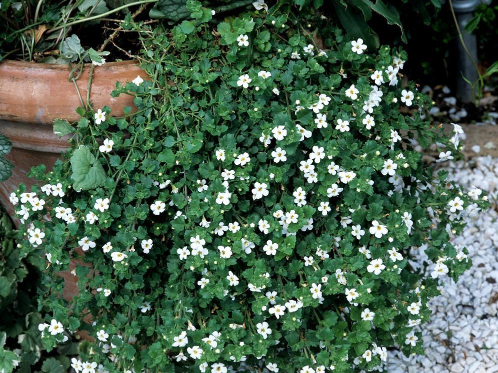 Bacopa planter et cultiver ooreka for Plantes exterieur resistant gel