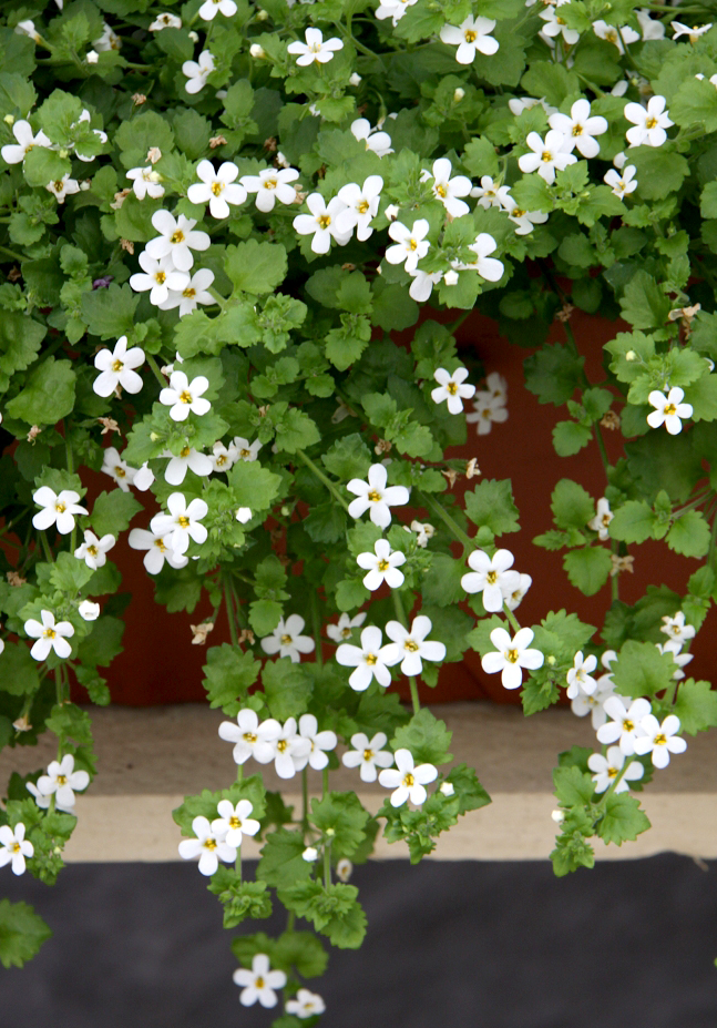 Bacopa planter et cultiver ooreka for Plante exterieure fleurie