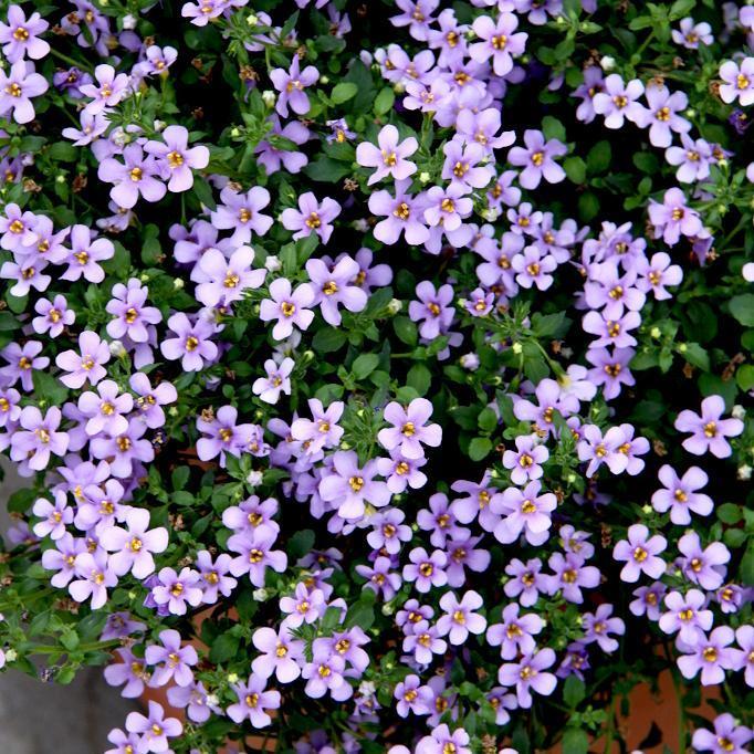 Fleurs bleu-mauve ou roses 'Lavender'