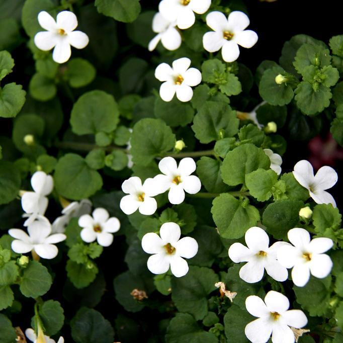 Fleurs blanches 'Cabana'® blanc