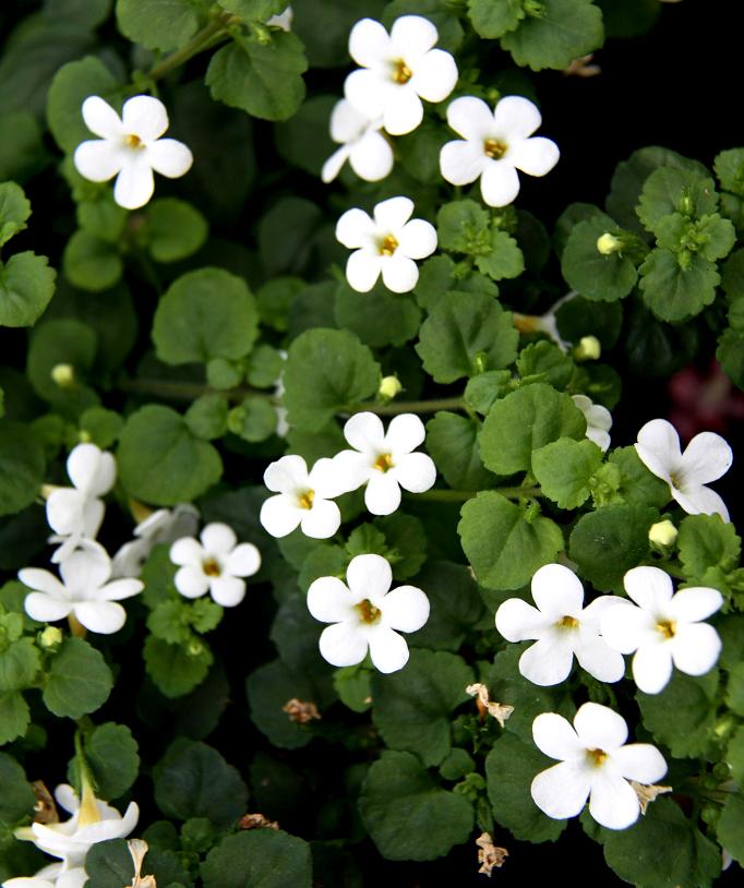 Bacopa planter et cultiver ooreka for Fushia plante interieur ou exterieur
