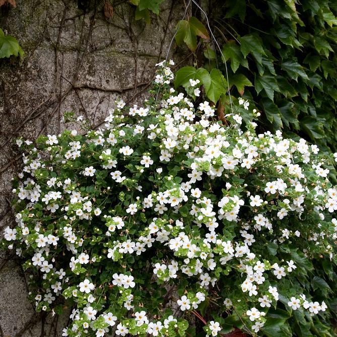 Fleurs blanches 'Gulliver'® blanc