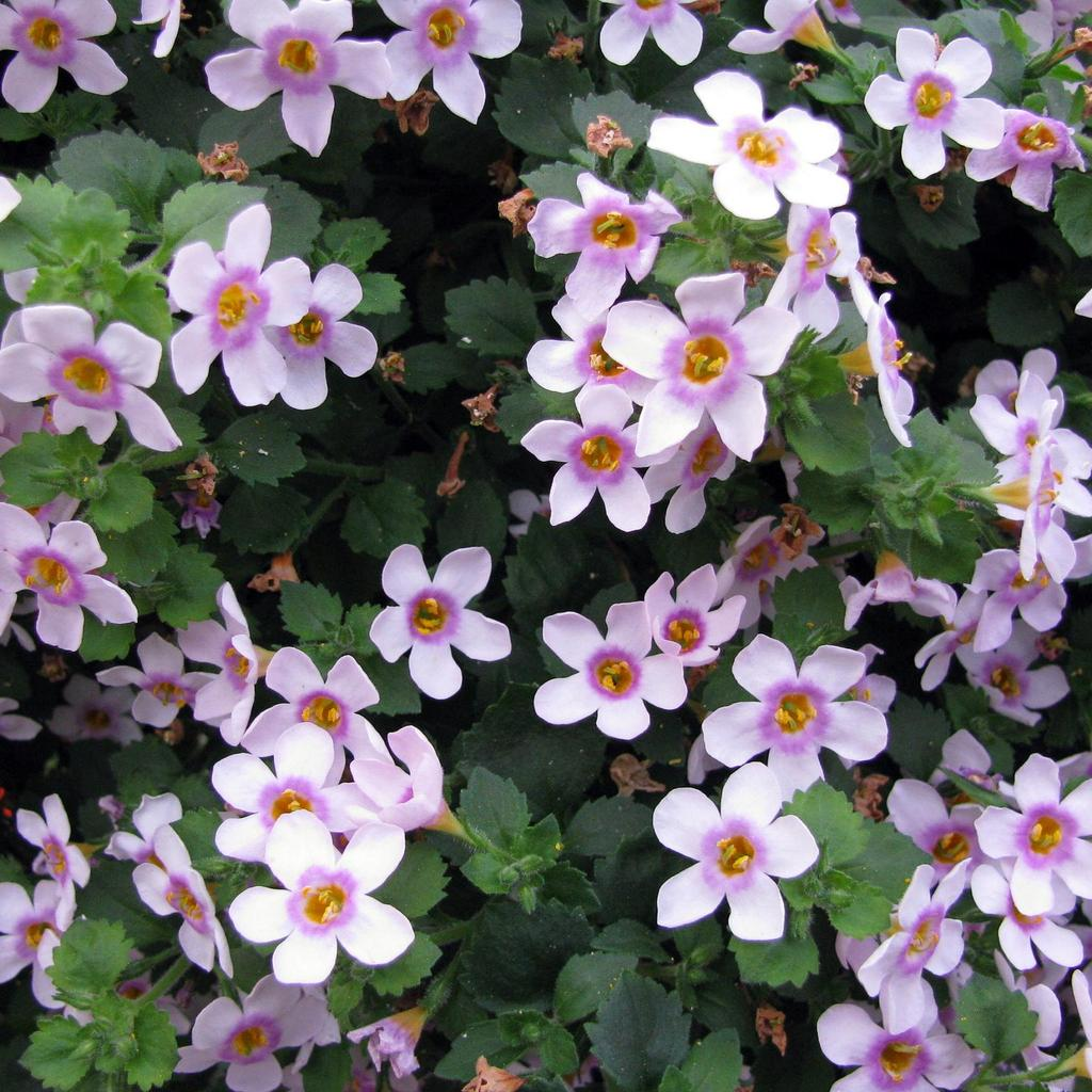 Fleurs bleu-mauve ou roses 'Scopia® Great Pink Ring'