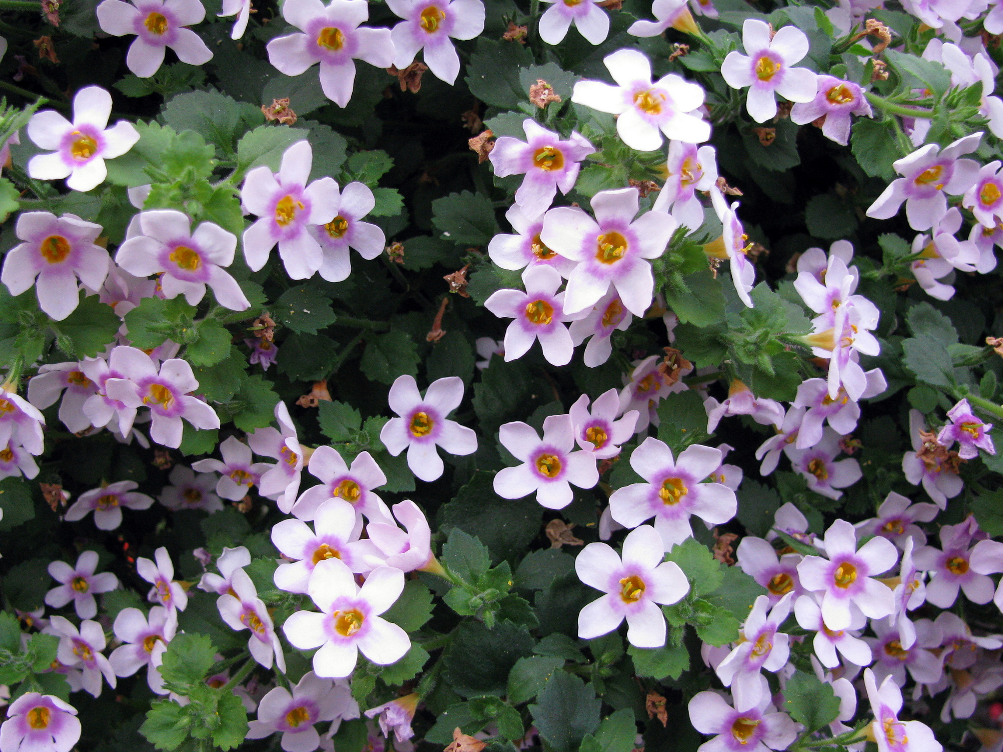 bacopa : planter et cultiver – ooreka