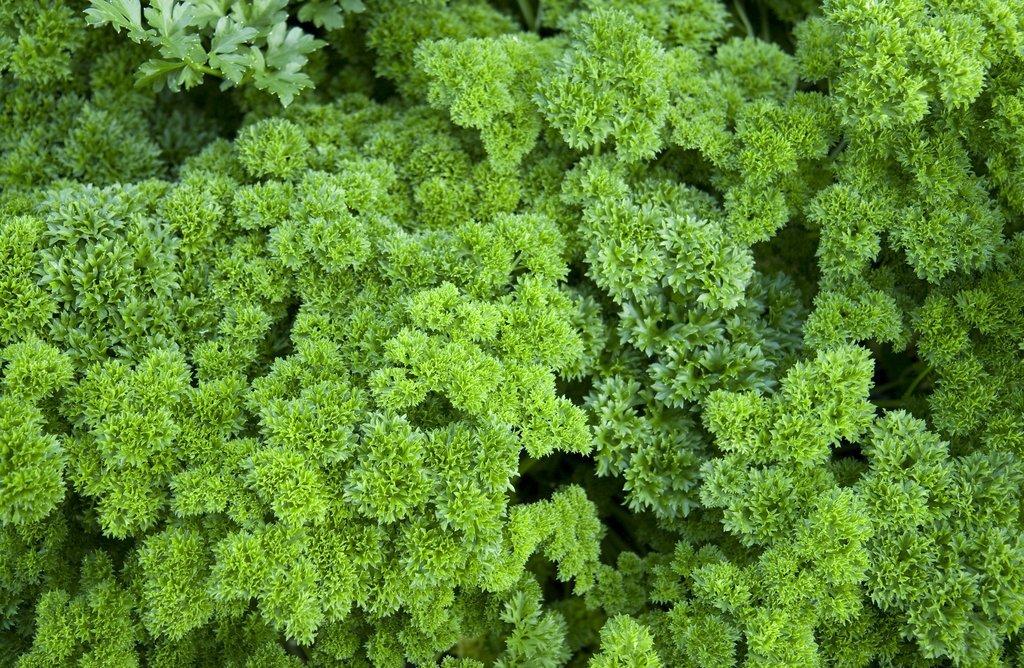 persil : semer et planter – ooreka
