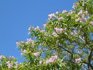 Plantationdu chitalpa