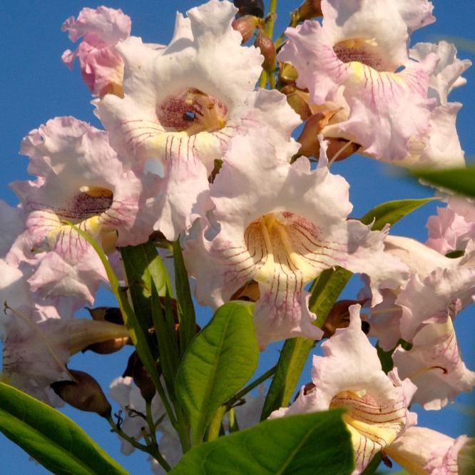 Chitalpa taschkentensis 'Pink Cloud'