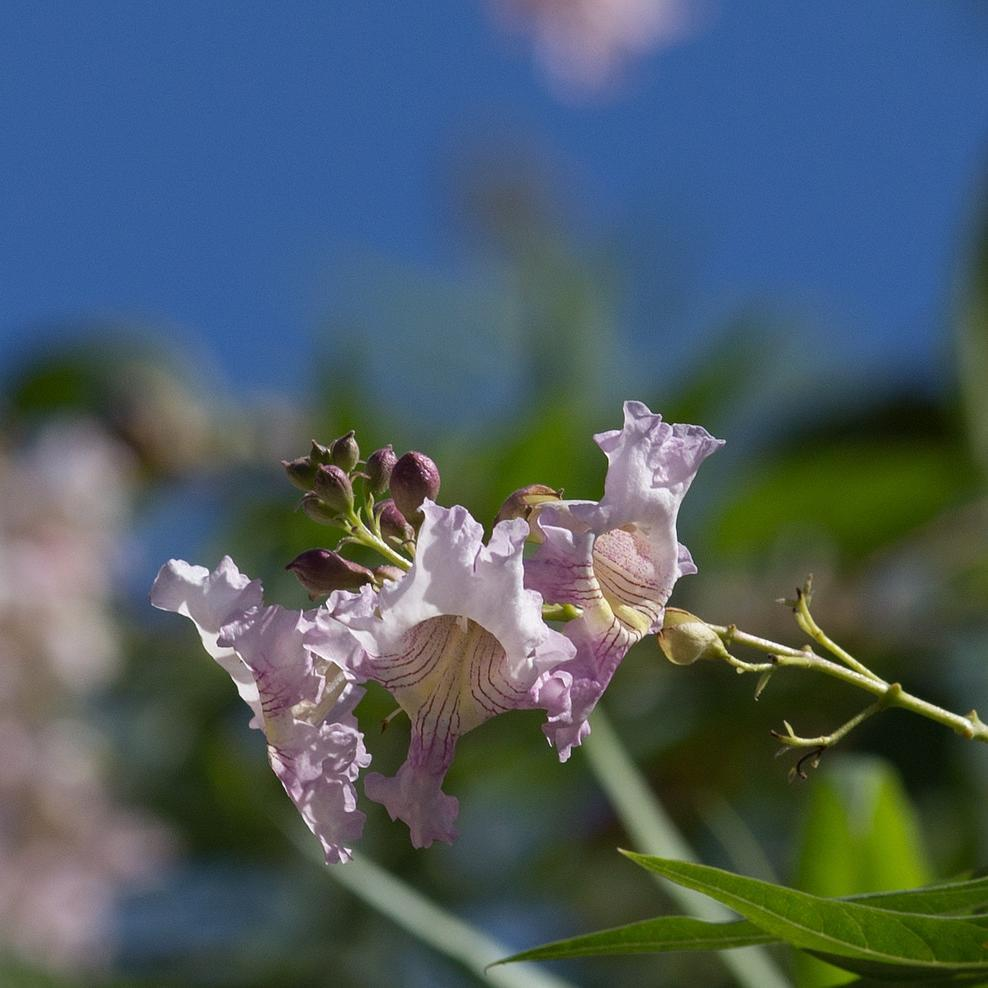 Chitalpa taschkentensis 'Summer Bells'® 'Minsum'