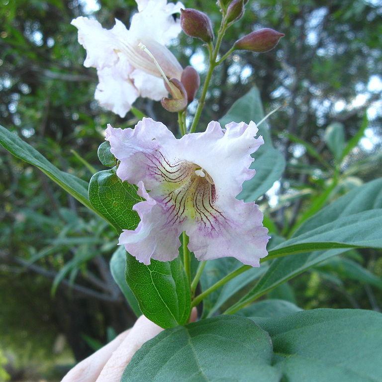 Chitalpa taschkentensis 'Morning Cloud'