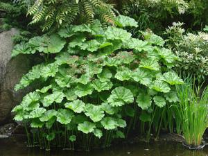 Semis et plantation de <em>Darmera peltata</em>