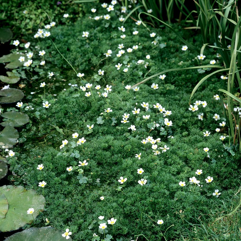 Hottonia Palustris Planter Et Cultiver Ooreka