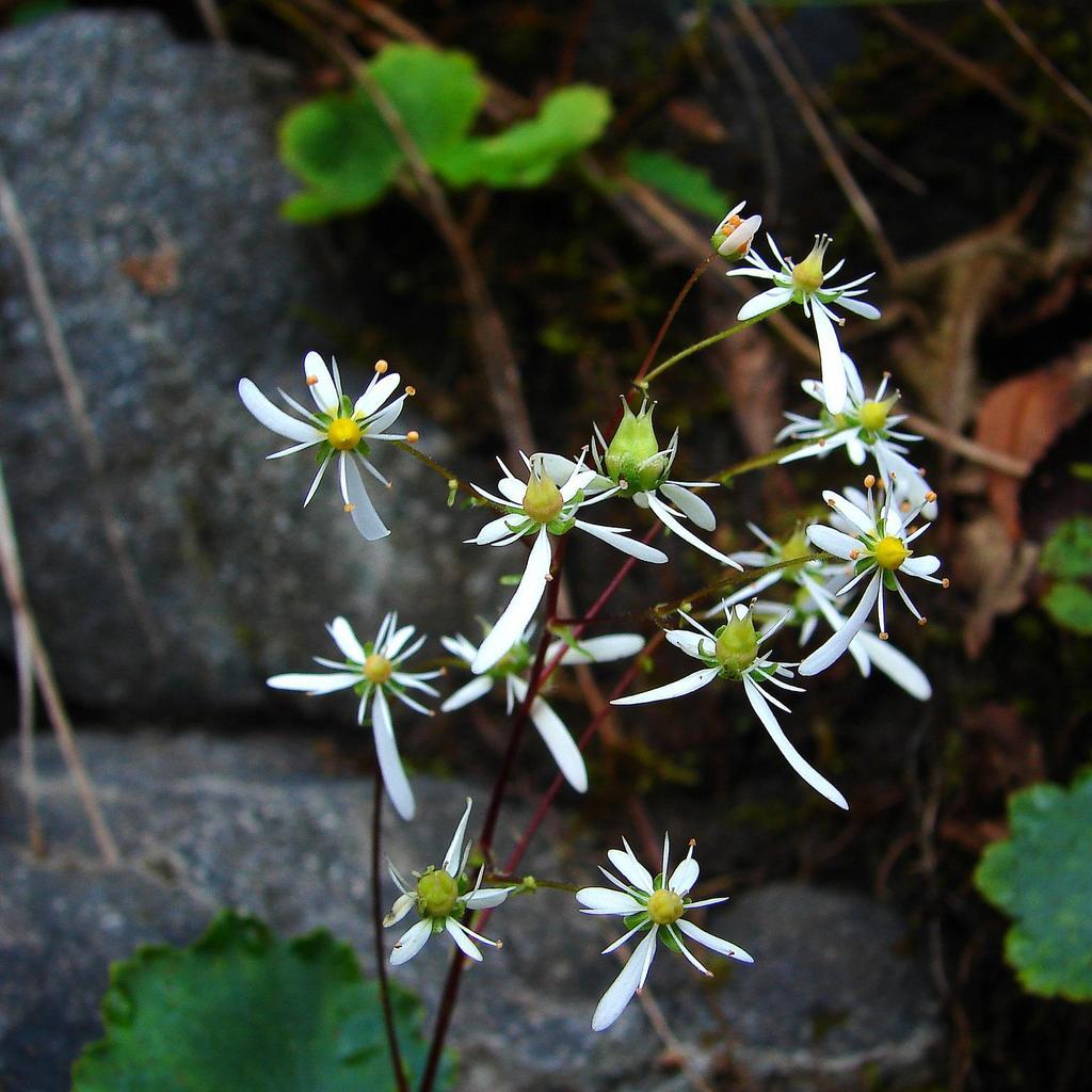 Espèce caduque Saxifrage japonaise (Saxifraga fortunei)