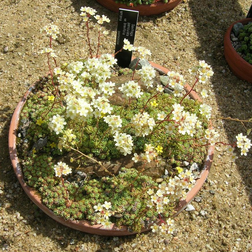 Espèces persistantes Saxifrage paniculée (Saxifraga paniculata)