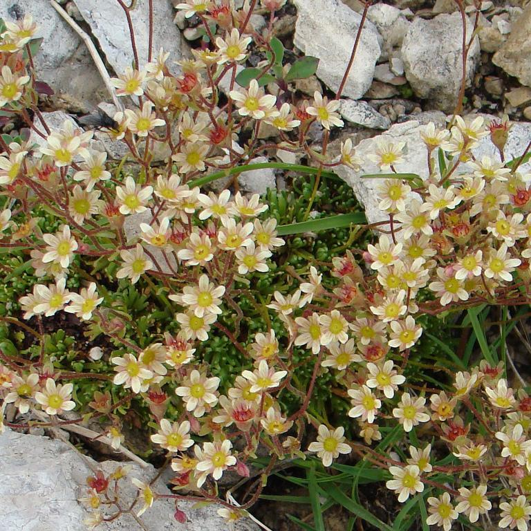 Espèces persistantes Gazon turc (Saxifraga exarata ssp. moschata 'Cloth of Gold')