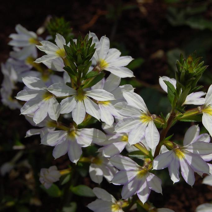 Floraison blanche 'Print White'