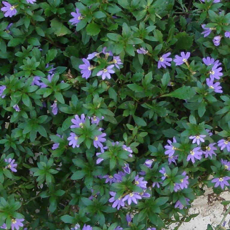 Floraison bleue 'Blue Wind'