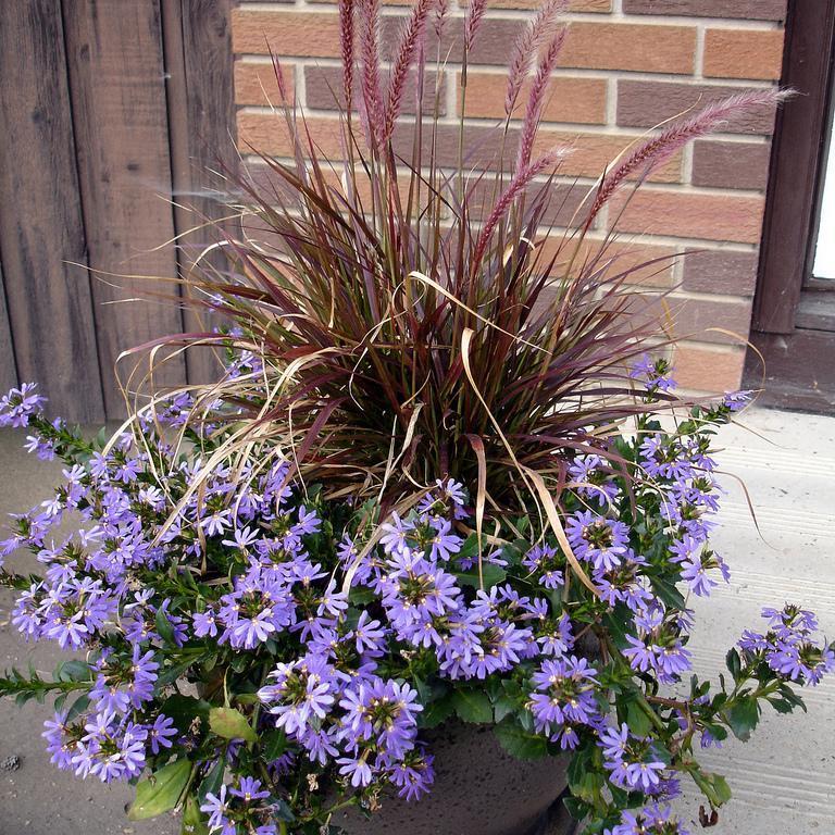 Floraison bleue 'Saphira'
