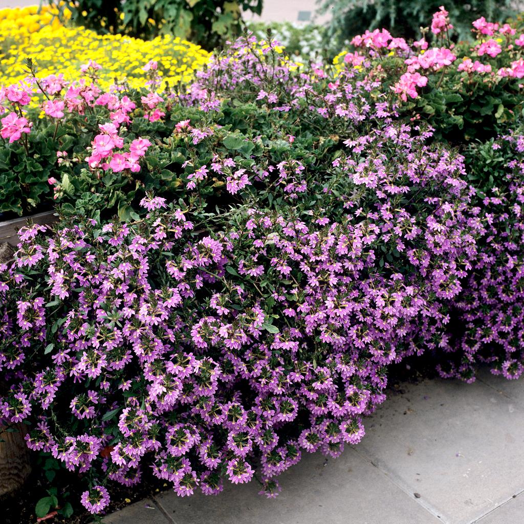 Floraison rose 'Pink Charm'