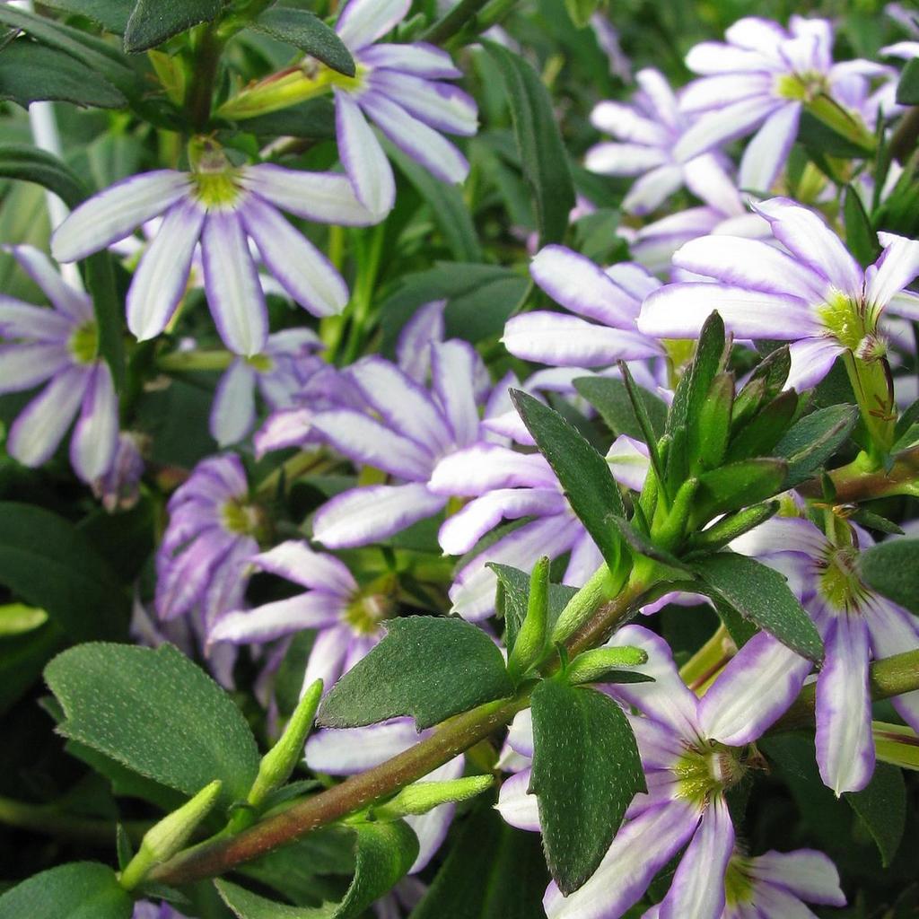Floraison blanche 'Diamond'
