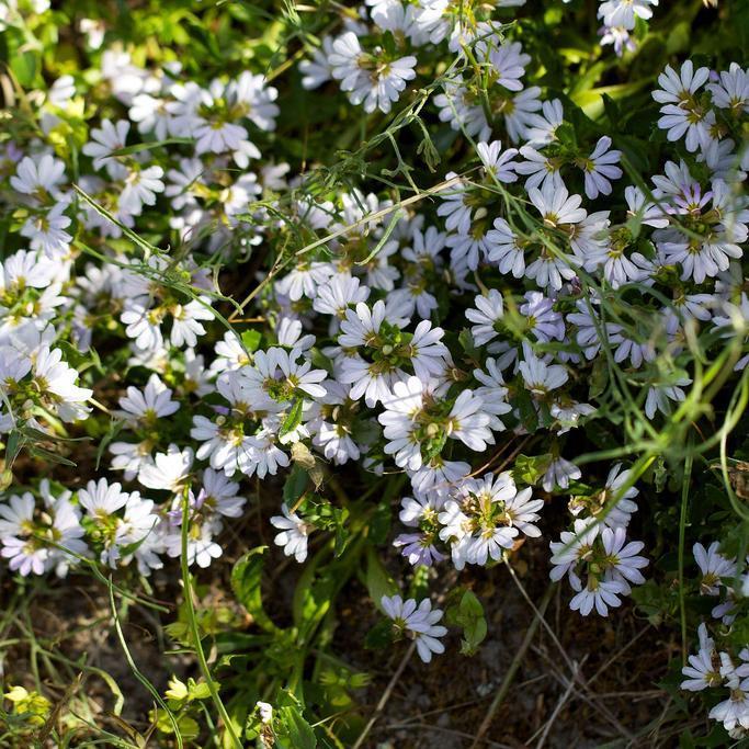 Floraison blanche 'White Wonder'