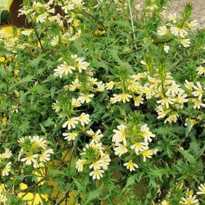 Floraison jaune 'Suntastic Yellow'