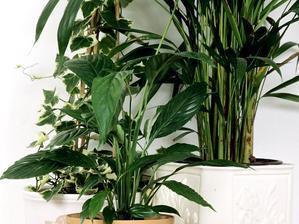 Plantation du spathiphyllum