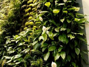 Multiplication du spathiphyllum